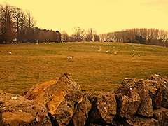 Speckles of Wool! (springblossom3) Tags: nature grazing sheep chipping campden cotswolds gloucestershire field