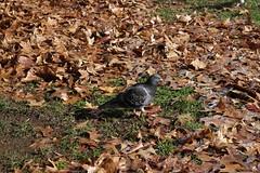 06237528 (chirlychong) Tags: 2016623 鳥 公園 落葉