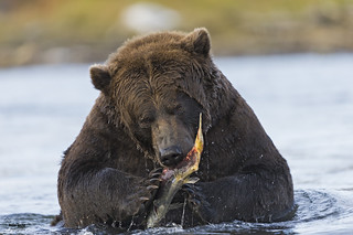 Grizzly bear  Oso grizzly  (Ursus arctos horribilis)