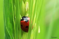 la bête à bon Dieu. (Un jour en France) Tags: insecte macro coccinelle blé