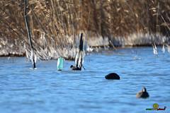 A-LUR_5588 (OrNeSsInA) Tags: trasimeno umbria byrd uccelli aironi cormorani toscana va orcia natura airon folaghe lago lucarosi passignano montedellago perugia insetti farfalle nikon tamron chiusi pesca tuoro castiglionedellago