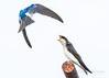 Stay off my perch (cbjphoto) Tags: carljackson photography sanjoaquin wildlife avian bird inflight sanctuary swallow tree
