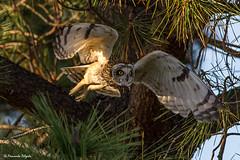 Lift off (Fernando Delgado) Tags: coruja corujadonabal aves avesemvoo asioflammeus birds birdwatching riaformosa ludo parquenaturaldariaformosa