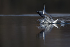 _41I2723_Splash (HelmiGloor) Tags: möwe vögel aves canon canon1dxmkii wildegg wildlife switzerland bird birds