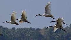 Black headed Ibis (sreejithkallethu) Tags: blackheadedibis birdsofkerala nature polachira kollam kerala ibis