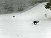 Dog and sledging on Ardvonie Park, 2016 Dec 26 (Dunnock_D) Tags: uk unitedkingdom britain scotland highlands highland badenoch grey cloud cloudy sky snow dog weimarador weimrador ardvonie park running sledging sledge hill hillside kingussie
