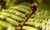 Koru in Hunua (Haruhara_Izzy) Tags: koru plant newzealand helios 442