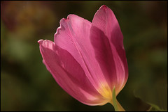 Tulp (TeunisHaveman) Tags: tulp tulip bloem loppersum natuur bol flower