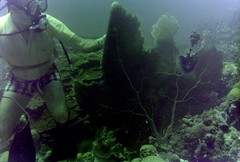 n0005.10 (avaragado) Tags: barbados coralreefclub fd197504 fd197604 fd197905 n0005 tonysmith