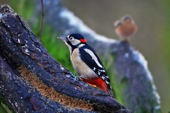 Great Spotted Woodpecker (eric robb niven) Tags: ericrobbniven scotland woodpecker great spotted dunkeld dundee