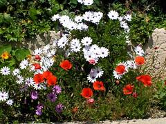 0 022 (marinetteromico) Tags: jardinières marguerites pavots ilesdesembiez var provence