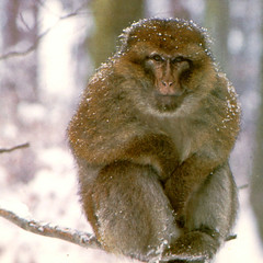Kintzheim Forêt des singes (06) (jeanraoulb) Tags: animaux kintzheim singe