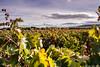 Viñedos (cvielba) Tags: duero otoño valladolid ribera viñedos