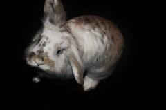 My rabbit Bonnie (tamaradrijver) Tags: rabbit ears teeth fur furry pet pets animal animals