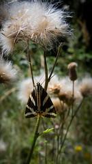 Csíkos medvelepke (Euplagia quadripunctaria) (jetiahegyen) Tags: virág lepke rovar börzsöny outdoor butterfly insect túra túrázás kirándulás tour hiking