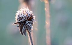 boule de glace (christophe.laigle) Tags: xf60mm blanc flower frost froid christophelaigle cristallisée frosty fleur macro gelée boule hiver fuji white étoile cristaux xpro2 glace givre wondersofwinter