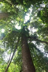 Red Cedar around 55 metres tall (Toona ciliata) (Poytr) Tags: redcedar toonaciliata toona meliaceae toonaaustralis arfp nswrfp qrfp washpoolnationalpark subtropicalarf subtropicalrainforest gleninnes nsw recordtree gianttree lastbigstand billhaydon worldheritagesite
