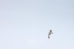 SnowDay2917-2360w (embrownny) Tags: 2017 branchbrookpark newjersey newark cold nj snow snowstorm winter bird flight flying gray flyinghigh