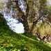 Olive Grove | Crete