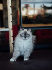 Kuranosuke (rampx) Tags: cat pentax neko 猫 ragdoll ねこ kuranosuke miaw vsco 645z