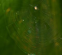 Tiny Spider & Web (HorsePunchKid) Tags: animalia arthropoda arachnida araneae thehighline araneidae taxonomy:kingdom=animalia taxonomy:class=arachnida taxonomy:order=araneae taxonomy:family=araneidae taxonomy:phylum=arthropoda falconeflyover taxonomy:common=orbweavers taxonomy:eolid=8819