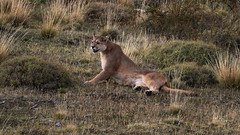 Puma laying down to rest (Paul Cottis) Tags: chile patagonia mammal 7 bigcat april puma cougar mountainlion mrsc 2015 paulcottis