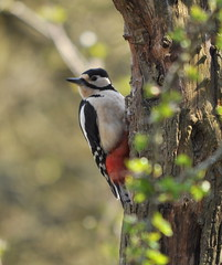 Great spotted woodpecker (Dendrocopos major) (Hazza D) Tags: woodpecker great spotted codurham washingtonwt