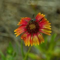 Bee on a Blanket Flower (ramseybuckeye) Tags: life flower art pentax north bee hatteras national blanket carolina outer wildflower banks seasshore