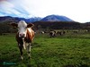 Mucca al pascolo sulla Majella - Abruzzo - Italy