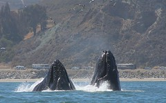 Humpback Whales lunge feeding at Avila Beach, California. (Atascaderocoachsam) Tags: whales humpbackwhale whalewatching avilabeach lungefeeding
