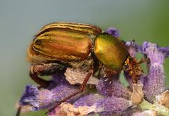Glaphyrus opulentus (stanislav snall) Tags: macro makro marokko macrophotography marocko coleoptera insecta scarabaeidae morokko glaphyridae glaphyrinae glaphyrus