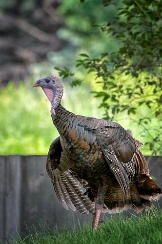 Turkey on a Mission