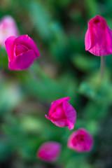 FreeLensing_1 (davidjohndumais) Tags: flowers lens tulips whacking freelensing