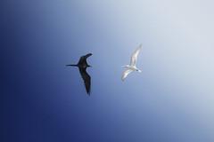 Dualidad (Hugo Alberto Ibarra) Tags: naturaleza color blancoynegro nature birds azul flying natural aves duality volando dualidad ltytr2 ltytr1