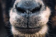 Au plus près (ALX-PHOTOGRAPHIE) Tags: museau macro proxy chèvre