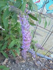 277 (en-ri) Tags: fiorellini lilla little flowers grappolo sony sonysti foglie leaves grata