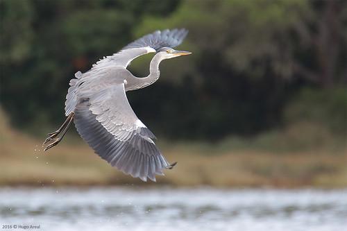 86d621c87a Grey heron by Hugo Areal · Bútio-comum ou Águia-d asa-redonda ...