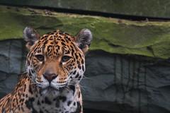 Jaguar_04 (Nick Dijkstra) Tags: jaguar artis