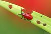 The Hole Maker (Vie Lipowski) Tags: scarletlilybeetle leaflilybeetle redlilybeetle liliocerislilii beetle insect bug leaf red green wildflower wildlife nature macro