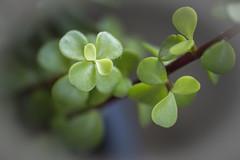 Jade succulent- Macro Monday-It's alive (Karon Elliott Edleson) Tags: macromonday succulent jade macro alive plant green depthoffield vingnette topaz wow