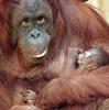 orangutan Lea and baby Krefeld JN6A1150 (j.a.kok) Tags: orang orangoetan orangutan primaat primate azie asia aap ape monkey lea krefeld mammal zoogdier animal motherandchild moederenkind baby