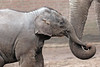 asiatic elephant Sanuk   Artis JN6A3581 (j.a.kok) Tags: sanuk olifant elephant asiaticelephant aziatischeolifant elephasmaximus azie asia mammal zoogdier herbivor artis