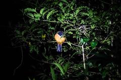 Sleeping bird, Costa Rica (smithrachel760) Tags: bird sleeping nighttimejungletour costarica puravida monteverdecloudforest jungle wildlife
