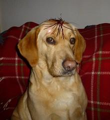 Enough is Enough! ;)..x (Lisa@Lethen) Tags: tinsle dog labrador pet friend