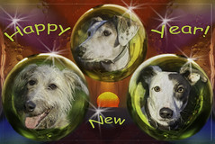 Happy New Year! (Shastajak) Tags: stanley deerhoundcross flori lurcher saluki whippet bullterrier crossbreed sql pronouncedsequel greyhound sighthound gazehound dog rehomed rescued greeting happynewyear photoshopcc layers blending sunrise oilonwater