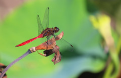 Red Dragonfly 039 (DMT@YLOR) Tags: dragonfly reddragonfly lily redlotuslily lotus red green dead flower wings netting pond lilypond toowong mountcootthabotanicalgardens garden leaf darter fireyskimmer skimmer firey