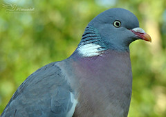 Wood Pigeon (Paula Darwinkel) Tags: woodpigeon pigeon bird pidgeon dove animal forest wildlife nature bokeh green outdoor portrait
