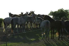 _le00324 (lotharlenz) Tags: shagyaaraber herde babolna