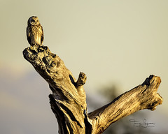 Short-Eared Owl Enjoying Another Beautiful Sunset In The Pacific Northwest (Hawg Wild Photography) Tags: shortearedowl shorteared owl owls bird birds of prey raptor raptors wildlife nature animal animals terrygreen pacific western washington northwest hawg wild photography