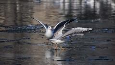 Le Lac des Cygnes interprété par des mouettes (HBA_JIJO) Tags: paris animal hbajijo oiseau bird ourcq canaldelourcq water eau mouette seagull hiver gel gelée glace france